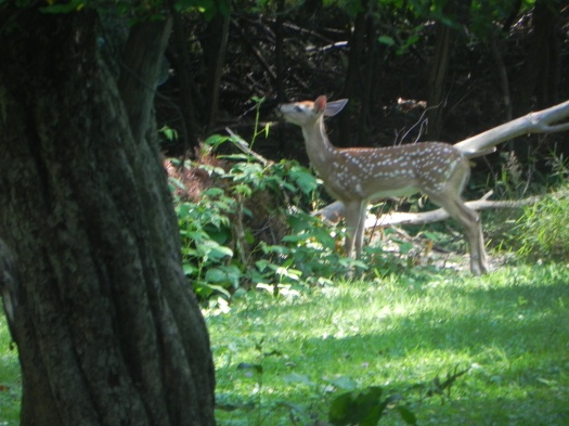 Fawn in backyard 07-14-11